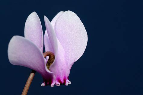 linguaggio dei fiori ciclamino ciclamino amuleto portafortuna cura dei fiori delle