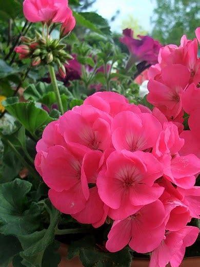 geraniums flores y plantas flowers and plants