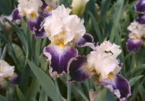 american iris society bearded classifications