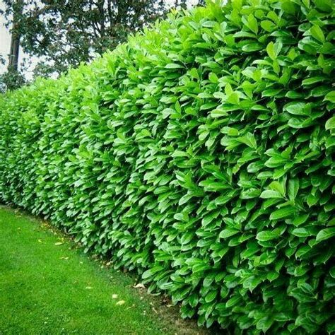 Planter Trees And Shrubs best 20 privacy plants ideas on