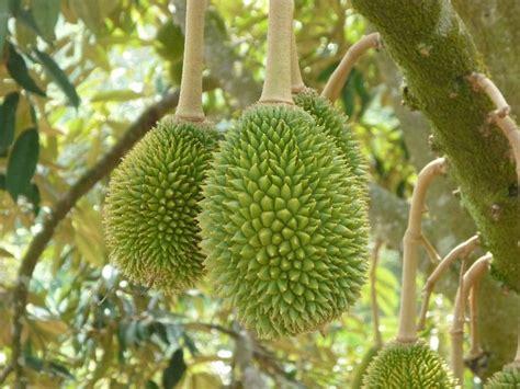 Jual Bibit Buah Yang Cepat Berbuah 19 jenis bibit pohon durian yang bagus cepat berbuah