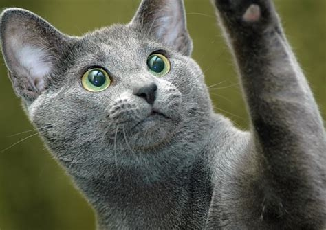 film blue russian russian blue cat breed download foto gambar wallpaper