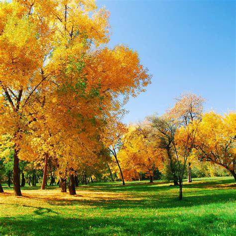 wallpaper daun gugur daun musim gugur kuning alami wallpaper sc android