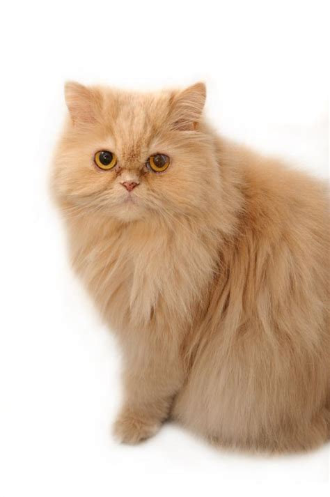 Persian Cat Pictures [Slideshow]