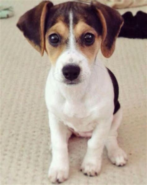 cross between pug and beagle 25 best ideas about beagle mix on beagle mix puppies puggle puppies and
