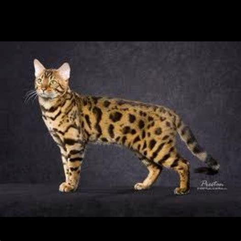 bengal house cat domestic bengal cat furry loves pinterest