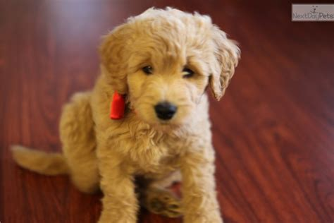 Goldendoodle Puppy For Sale California Powweb View Ad
