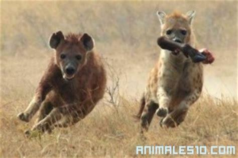 imagenes de leones vs hienas pelea leones contra hienas