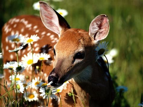 flora and fauna images a doe a deer hd wallpaper and background photos 18591406
