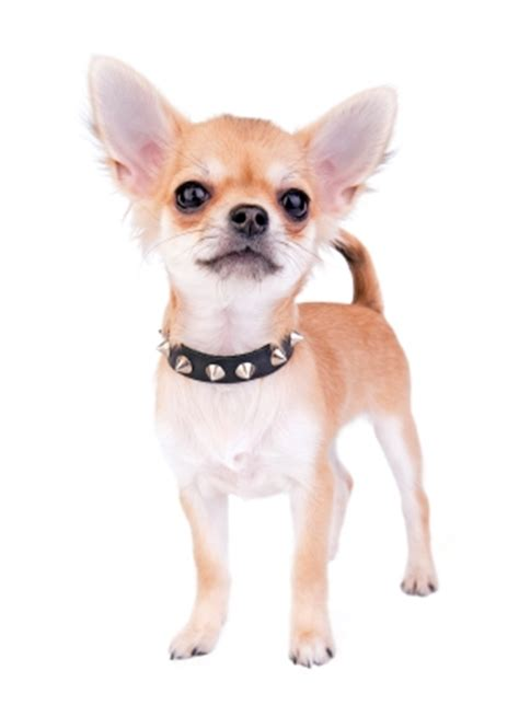 how much food does a puppy need best food for chihuahuas and which to avoid herepup