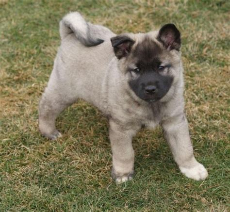 elkhound puppies for sale elkhound puppies for sale elkhound breed info breeds picture