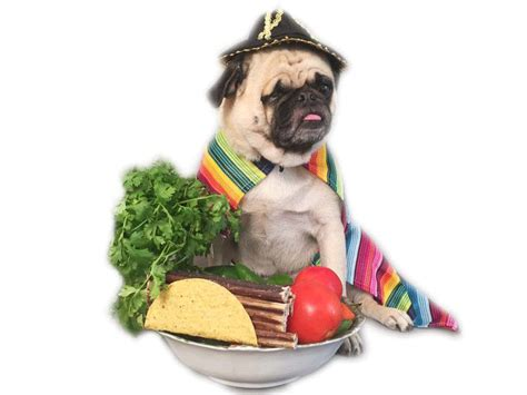 pug in taco costume taco pugs pug jokes