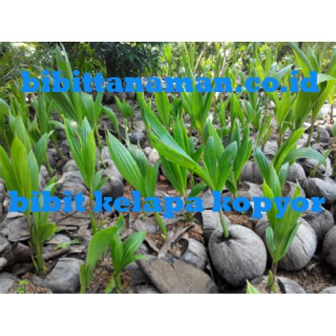 Jual Bibit Kelapa Kopyor jual bibit tanaman unggul murah di purworejo