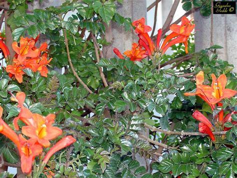 pianta fiori arancioni pianta con fiori arancioni filadelfo fiore duangelo