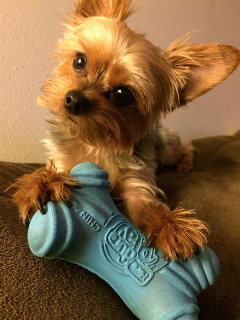 boy yorkie haircuts hairstyles for yorkie hairstylegalleries