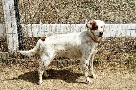 bench setter bench english setters for sale goldenacresdogs com