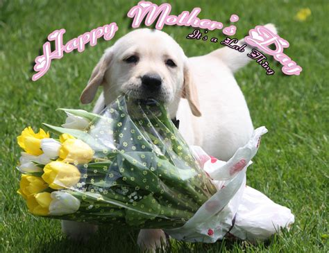 day puppies its a lab thing marriage puppy labrador mothers day it s a lab thing