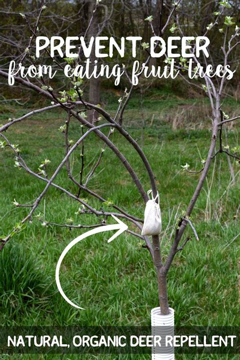 25 best ideas about fruit bushes on pinterest planting blueberry bushes growing blueberries