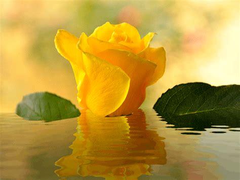 bellas flores amarillas y rojas mandarsaludoscom rosa amarilla animada con movimiento el universo