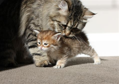 For Cats by Siberian Cats Siberian Cats And Kittens Cattery In