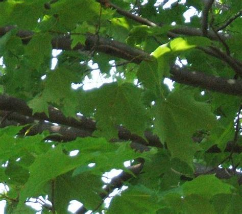 are maple trees poisonous to horses photos of plants poisonous to horses