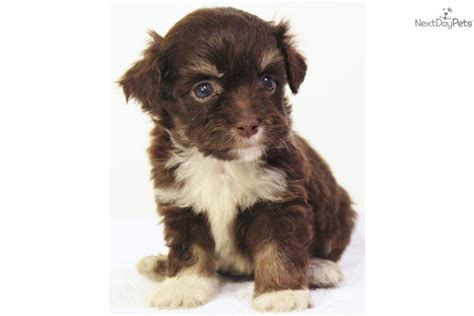 chocolate havanese puppies for sale havanese puppy for sale near san francisco bay area california a38f89fe fe91