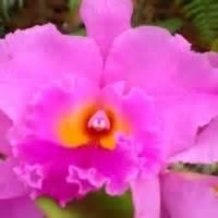 cattleya orchid plants in sturtz and copeland garden