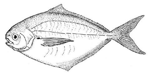 brook trout coloring page pictures to pin on pinterest