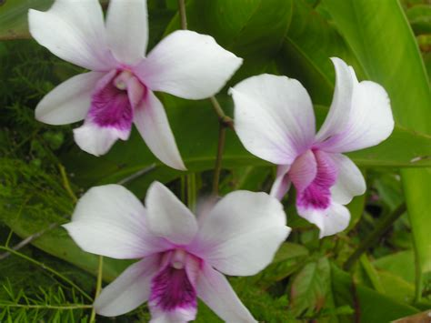 Orchid Trio the orchid story rene s travels