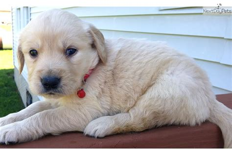 goldendoodle puppies for sale cincinnati ohio goldendoodle puppy for sale near cincinnati