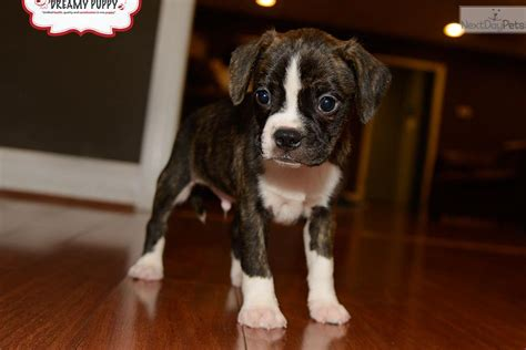 boxer puppies for sale in washington boxer puppy for sale near washington dc 25a813d6 04d1