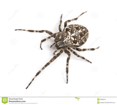 Garden Spider Illinois Top View Of An European Garden Spider Royalty Free Stock