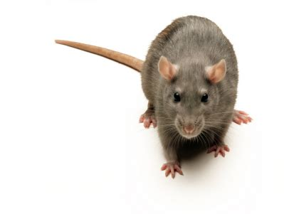 Mice Living In by Mice And Rats Reno Sparks Nv Progressive Pest Management