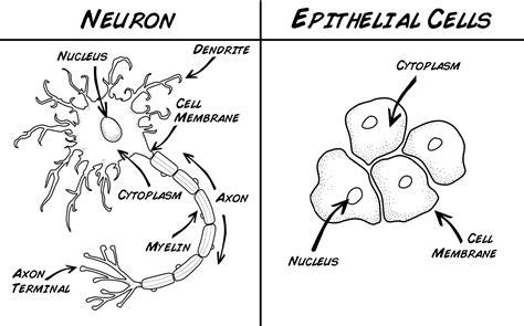 cheek cell diagram human cheek cell diagram www pixshark images