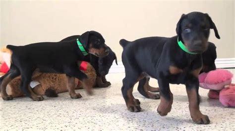 european doberman puppies for sale european doberman puppies for sale