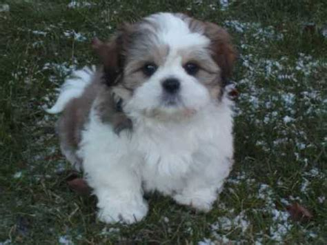 coton de tulear breed guide learn   coton de tulear