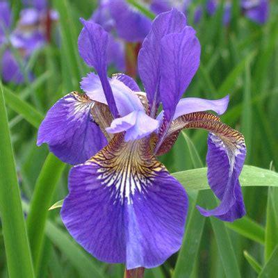 iris 'blue king' (sibirica) dorset perennials