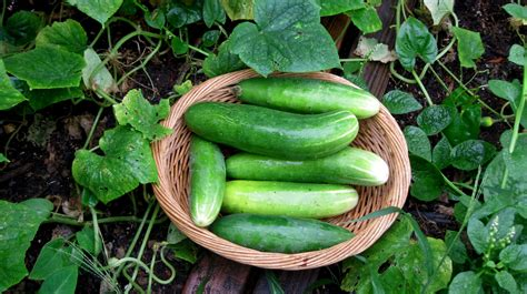 When To Cucumbers From Garden by Growing Cucumber Harvesting Agrosuede