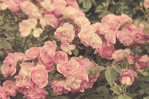 rose themes for pc roses tumblr google search flowers landscapes