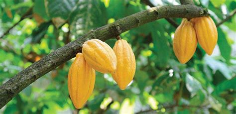 cocosista s top 10 richest of south africa the top 5 cocoa bean producing countries ranking interesting facts about africa