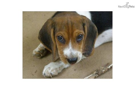 beagle puppies for sale in alabama beagle for sale for 400 near florence shoals alabama 7c6bca91 dad1