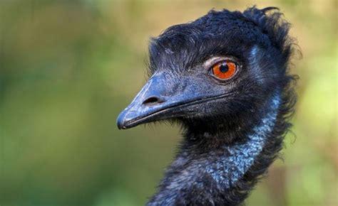 Emu Calendar Emu Zoos