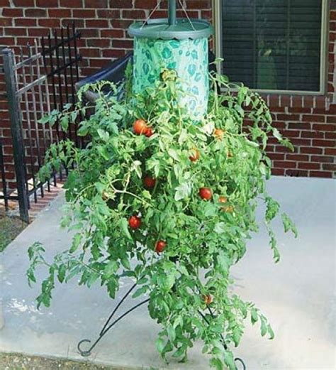 Container Gardening Tomatoes by 6 Easiest Ways Start For Growing Tomatoes In Containers