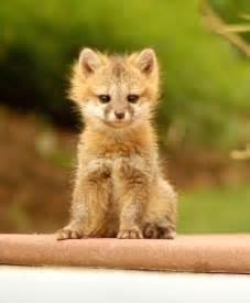 baby fox on the patio animals pinterest