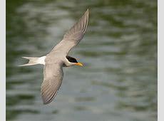 Black-fronted tern | New Zealand Birds Online Skylark Books