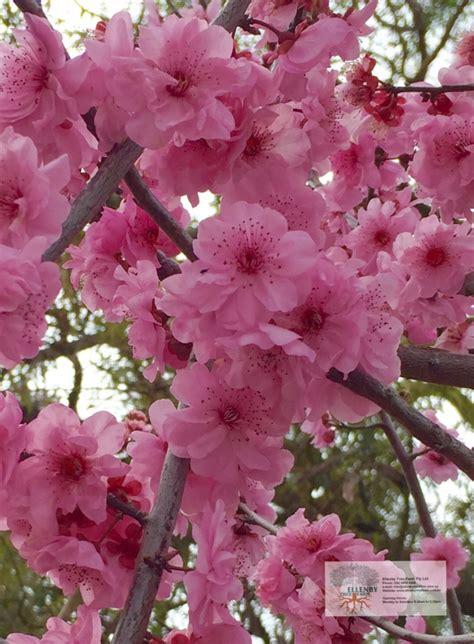 prunus blireana cherry blossom plum ellenby tree farm