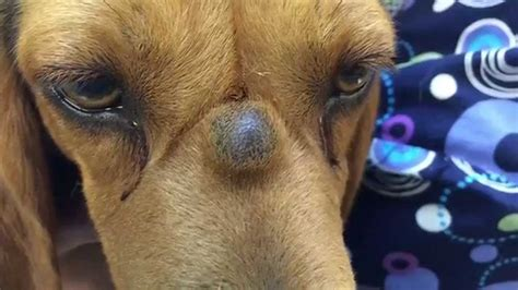 cysts on dogs beagle s nose cyst