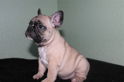 bull puppies for sale kc bulldog puppies for sale glasgow lanarkshire pets4homes