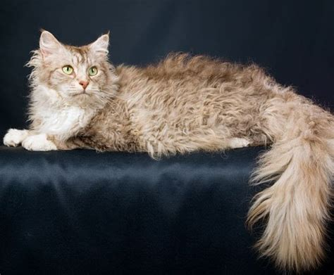 laperm cat pictures personality and how to care for