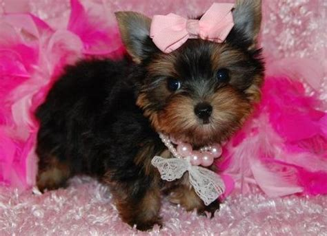 yorkie for sale pa beautiful babies yorkie puppies now ready for sale lovable friends